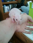 Rat Triskel -  Femelle (1 an)