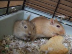 Gerbille Vanille et Lilas -  Femelle (Vient de naître)