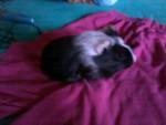 Cochon d'Inde Pinckie ( petit de Lilo et Stitch qu'on garde ) -  Femelle (2 mois)