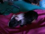 Pinckie ( petit de Lilo et Stitch qu'on garde ) - (2 mois)