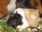 Cochon d\'Inde milo -  Femelle (4 mois)