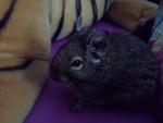 Kiwi - (1 an)