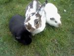Lièvre Mörle(Hase) und Meerschweinchen -  Femelle (2 ans)