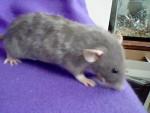 Rat Pixie -  Femelle (1 an)