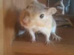 Gerbille Fanta -  Femelle (2 ans)
