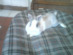Lapin nain Melodie -  Femelle (5 ans)
