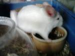 Chinchilla Peter -  Femelle (1 an)