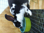 Lapin Indy -  Femelle (11 mois)