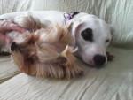 Furet bossard -  Femelle (2 ans)