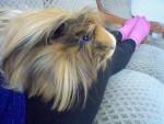 Cochon d'inde à poil long Heliotte -  Femelle (3 ans)