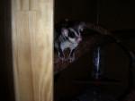 ecureuil rare - (1 an)