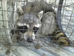 Dixies racoon -
