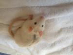 Rat Rasta -  Femelle (2 ans)