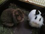 Petit lapin Schlappi & Finchen -  Femelle (3 ans)