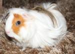 Cochon d'Inde Lola -  Femelle (7 mois)