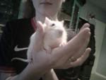 Rat Fripouille -  Femelle (3 ans)