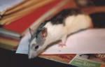 Raton (jeune) -