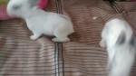 Petit lapin mokona, kuromi y tokki -  Femelle (8 mois)