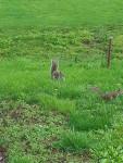 ardillas en campo - Mâle (8 mois)