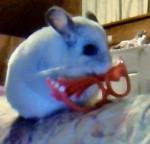 Chinchilla Rosie -  Femelle (5 ans)