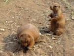 chien de prairie -
