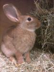 Grand lapin Knuffel -  Mâle (5 ans)