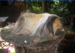 Cochon d'inde à poil long Jaime -  Femelle (2 ans)