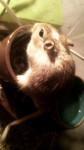Gerbille Haribo -  Femelle (6 mois)