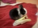 Petit lapin Puntazo -  Femelle (1 mois)