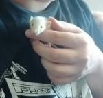Rat Snow -  Femelle (1 mois)
