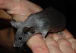 Souris Mouse -  Femelle (8 mois)