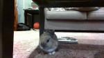 Lapin Jack -  Mâle (11 mois)