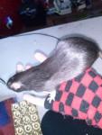 Rat Mizu -  Femelle (0 mois)