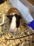 Cochon d'Inde Piggy -  Mâle (5 ans)