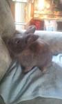 Lapin nain Lucky -  Mâle (2 ans)