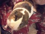 Cochon d'Inde Paisley -  Femelle (2 ans)