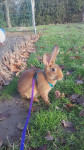 Lapin Ohana -  Femelle (8 mois)