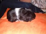 Cochon d\'Inde Benco -  Mâle (6 mois)