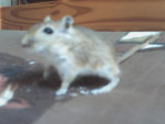 Misa (gerbille) - (1 an)