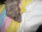 Rat Gribouille -  Femelle (2 mois)