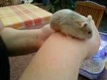 Hamster Ficelle (décédée) -  Femelle (3 mois)
