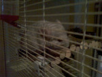 Chinchilla Bob -  Mâle (4 mois)