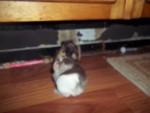 Cochon d'Inde Pepper -  Mâle (1 mois)