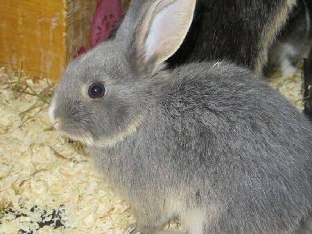 Lapin avec pelage spécifique bunny -  Mâle (2 mois)