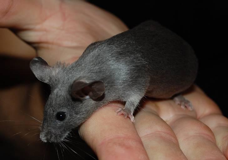 Mouse - (8 mois)